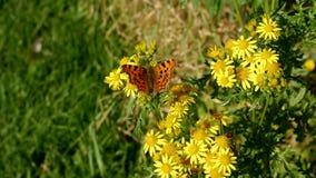 在一朵黄色雏菊花的逗号蝴蝶 免版税库存图片