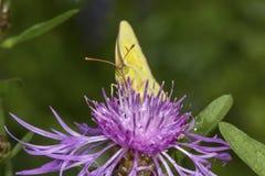 在一朵黑矢车菊属花的粉蝶蝴蝶在新罕布什尔 免版税库存照片