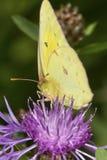 在一朵黑矢车菊属花的粉蝶蝴蝶在新罕布什尔 免版税库存图片