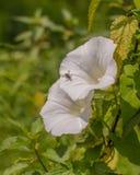 在一朵更大的野生植物植物花的Tachinid飞行 免版税库存照片
