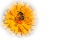 在一朵黄色万寿菊花的蜂收集花粉的, 库存图片