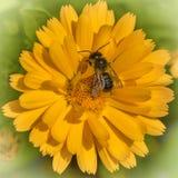 在一朵黄色万寿菊花的蜂收集花粉的 免版税图库摄影
