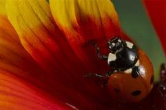 在一朵黄色和红色花的瓢虫 免版税库存图片