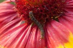 在一朵紫色和黄色花的美丽的毛虫 免版税库存图片