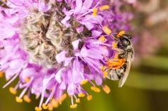 在一朵紫色和黄色花的蜂 免版税库存图片