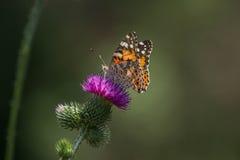 在一朵紫色多刺的野花的一只蝴蝶 库存照片