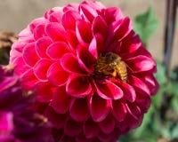 在一朵紫色大丽花的一只蜂 免版税库存图片