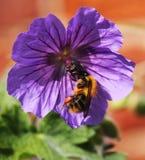 在一朵紫色大竺葵花的一只蜂 免版税库存照片