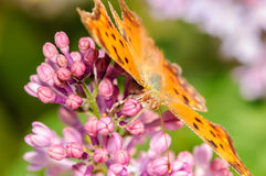 在一朵紫色淡紫色花的橙色蝴蝶 库存图片