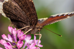在一朵紫色淡紫色花的蝴蝶 免版税图库摄影