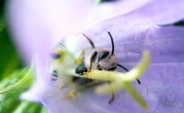 在一朵紫色花和一只黑甲虫的蜂在一个夏日 图库摄影