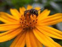 在一朵黄色花的一只昆虫 免版税库存图片