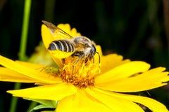 在一朵黄色花的一只蜂 免版税库存照片