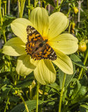 在一朵黄色花的一只蝴蝶 图库摄影