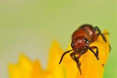 在一朵黄色花的不能飞行的蜂 库存图片