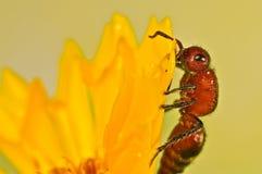 在一朵黄色花的不能飞行的蜂 免版税库存图片