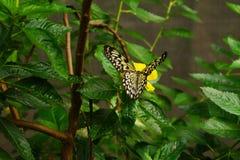 在一朵黄色花的唯一纸风筝想法leuconoe蝴蝶接近的开会有绿色叶子背景 图库摄影