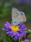 在一朵紫色花的天蓝色的蝴蝶 库存照片