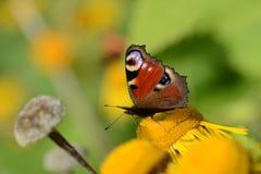 在一朵黄色花的孔雀 是镇静黎明露水花新宏观本质零件照片雨水湿黄色 库存照片