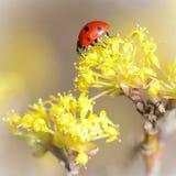 在一朵黄色花的小瓢虫 免版税库存图片