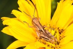 在一朵黄色花的幼小蚂蚱 库存照片
