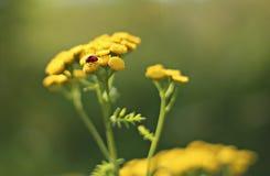 在一朵黄色花的瓢虫 免版税库存照片