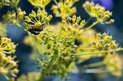 在一朵黄色花的甲虫 免版税图库摄影