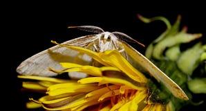 在一朵黄色花的白色飞蛾 免版税库存照片