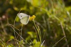 在一朵黄色花的白色蝴蝶 免版税库存图片