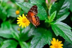 在一朵黄色花的红色孔雀铗蝶 免版税图库摄影