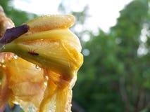 在一朵黄色花的红色臭虫 库存图片