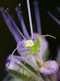 在一朵紫色花的美丽的蜘蛛 免版税库存图片