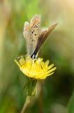 在一朵黄色花的美丽的蝴蝶 免版税库存图片