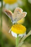 在一朵黄色花的美丽的蝴蝶 库存图片