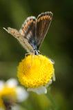 在一朵黄色花的美丽的蝴蝶 库存照片