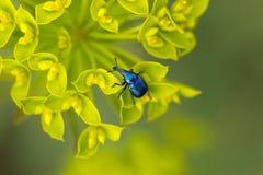 在一朵黄色花的蓝色象鼻虫 免版税库存照片