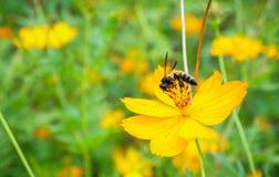 在一朵黄色花的蜂在庭院里 免版税库存图片