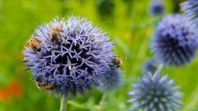 在一朵紫色花的蜂收集花蜜 非常从同样花的美好的背景 免版税库存图片