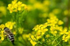 在一朵黄色花的蜂蜜蜂,自然摘要 免版税库存图片