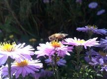 在一朵紫色花的蜂蜜蜂 库存照片
