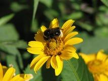 在一朵黄色花的蜂 免版税库存照片
