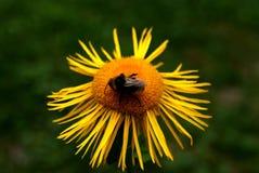 在一朵黄色花的蜂 免版税图库摄影