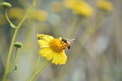 在一朵黄色花的蜂 免版税库存图片