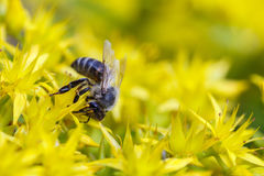 在一朵黄色花的蜂 库存图片
