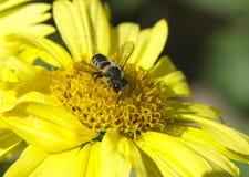 在一朵黄色花的蜂 库存照片