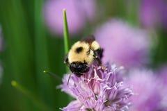 在一朵紫色花的蜂 免版税库存照片