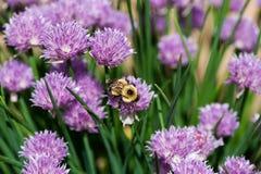 在一朵紫色花的蜂 库存图片