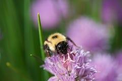 在一朵紫色花的蜂 库存照片