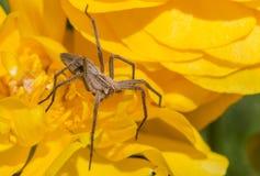 在一朵黄色花的蜘蛛 库存照片