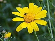 在一朵黄色花的飞行 库存照片